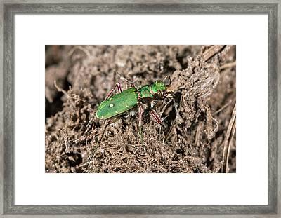 Green Tiger Beetle In Heathland Framed Print by Bob Gibbons