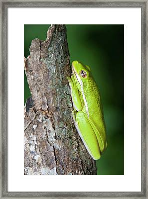 Green Tree Frog (hyla Cinerea Framed Print by Larry Ditto