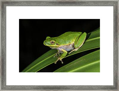 Green Tree Frog (hyla Cinerea Framed Print by Pete Oxford
