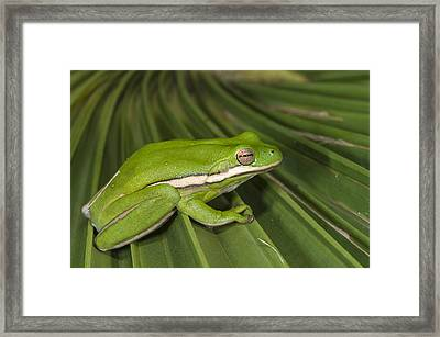 Green Tree Frog Little St Simons Island Framed Print by Pete Oxford