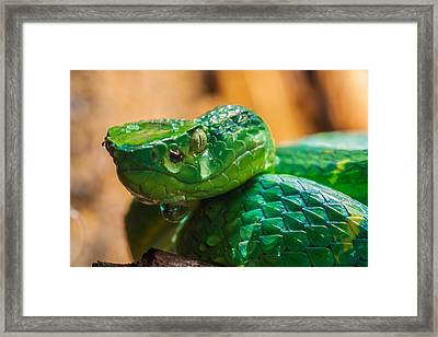 Green Tree Pit Viper Framed Print by Craig Lapsley