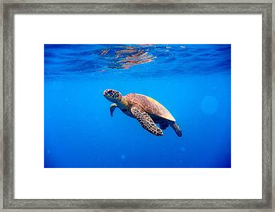 Green Turtle Approaching Water Surface Framed Print by Searsie