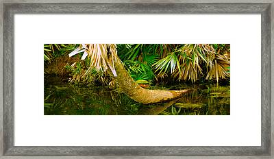 Green Turtle Chelonia Mydas In A Pond Framed Print by Panoramic Images