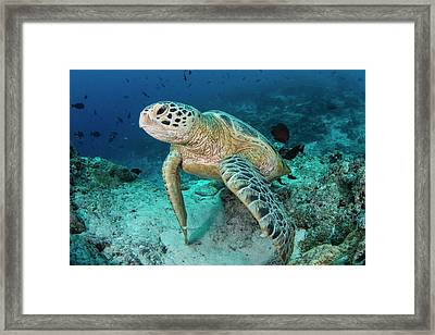 Green Turtle Resting On Reef Framed Print