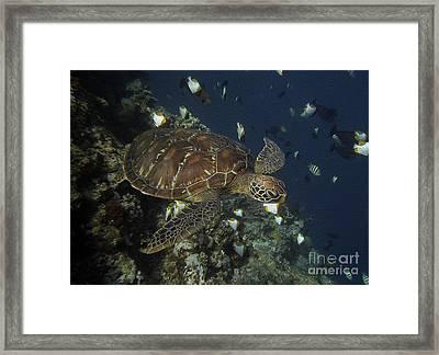 Hawksbill Turtle Framed Print by Sergey Lukashin