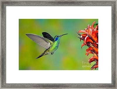 Green Violet-ear Hummingbird Framed Print by Anthony Mercieca