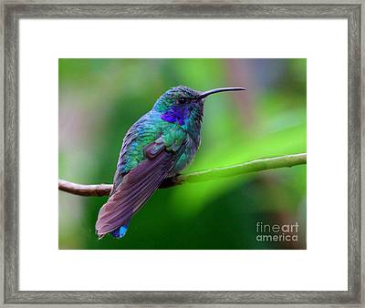 Green Violet Ear Hummingbird Framed Print