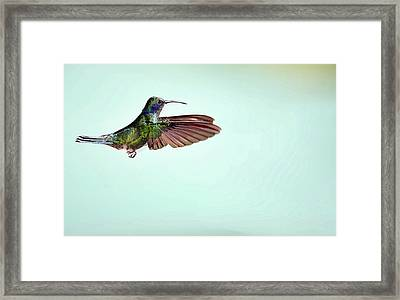 Green Violetear Hummingbird In Flight Framed Print