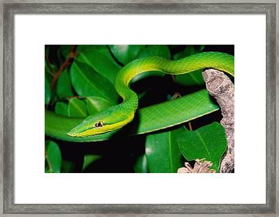 Green Whip Snake Framed Print