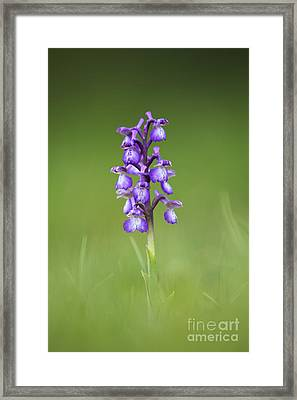 Green Winged Orchid Framed Print by Tim Gainey