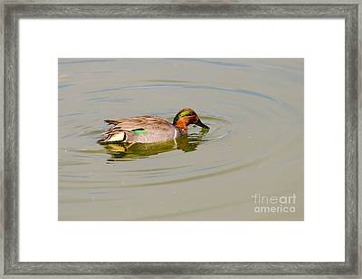 Green-winged Teal At Feeding Time Framed Print