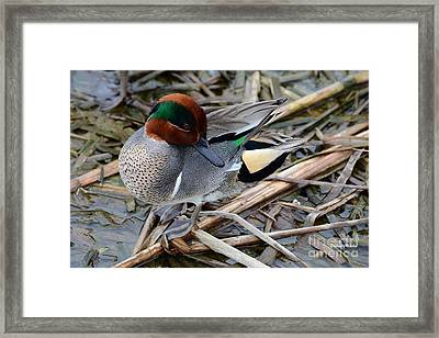 Green-winged Teal Framed Print by Debra Martz