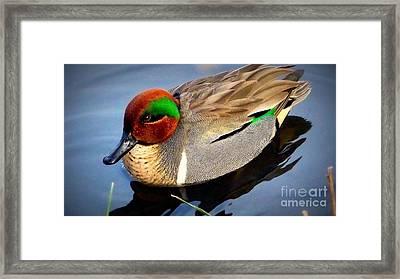 Green Winged Teal  Duck  Framed Print by Susan Garren