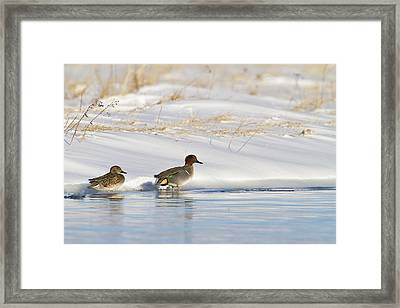 Green Winged Teal On Ice Framed Print