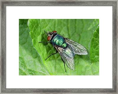 Greenbottle Framed Print