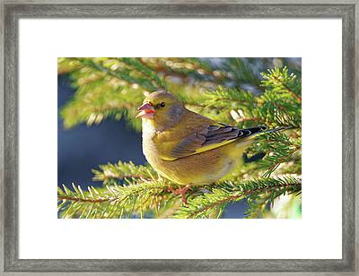 Greenfinch Framed Print by Heiti Paves
