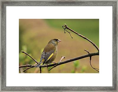 Greenfinch Framed Print by Peter Skelton