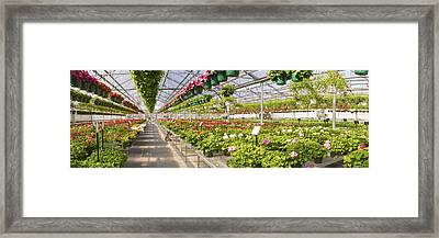 Greenhouse Full Of Geraniums Panorama Photograph Framed Print