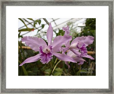 Greenhouse Ruffly Orchids Framed Print