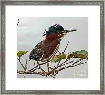 Audubon's Green Heron Framed Print by Larry Nieland