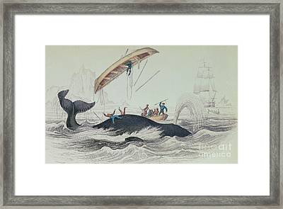 Greenland Whale Book Illustration Engraved By William Home Lizars  Framed Print
