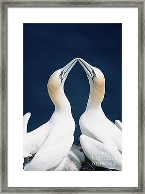Greeting Gannets Canada Framed Print by Yva Momatiuk John Eastcott