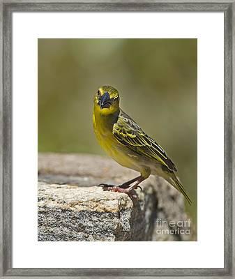 Gregarious Bird... Framed Print by Nina Stavlund