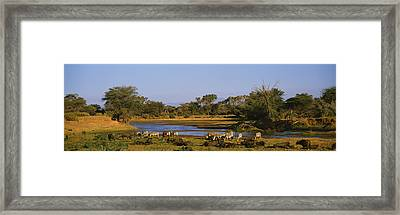 Grevys Zebra And African Buffalos Framed Print by Panoramic Images