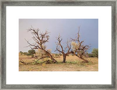 Grey Camelthorn Tree In The Auob Riverbed Framed Print