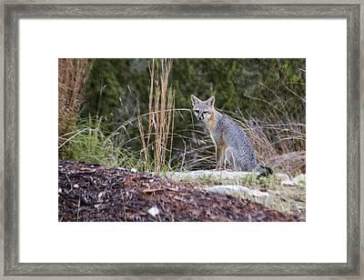 Grey Fox At Rest Framed Print by Dana Moyer