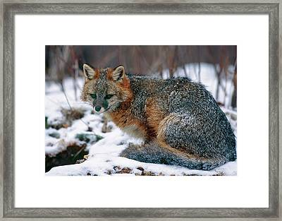Grey Fox Framed Print by William Ervin/science Photo Library