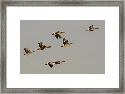 Grey Geese Framed Print by Michael Mogensen