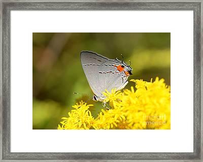 Grey Hairstreak Butterfly Framed Print by Kathy Baccari