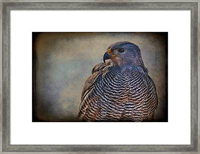Framed Print featuring the photograph Grey Hawk by Barbara Manis