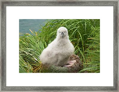 Grey-headed Albatross Chick Framed Print by Yva Momatiuk John Eastcott