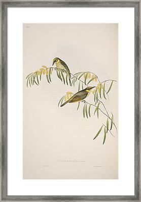 Grey-headed Honeyeaters, Artwork Framed Print by Science Photo Library