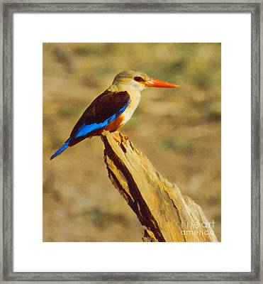 Grey-headed Kingfisher Halcyon Leucocephala Framed Print