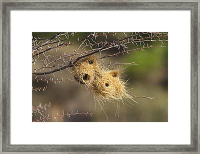 Grey-headed Social-weaver Nests Tanzania Framed Print by Konrad Wothe