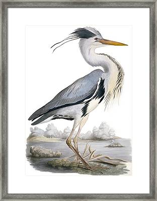 Grey Heron, 19th Century Framed Print