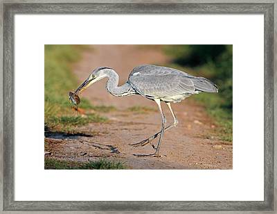 Grey Heron And Prey Framed Print