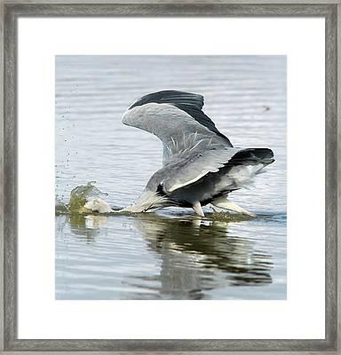 Grey Heron Catching A Fish Framed Print