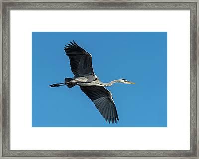 Grey Heron In Flight Framed Print