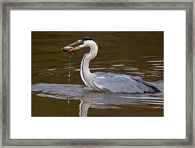 Grey Heron, Kenya Framed Print