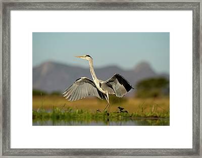 Grey Heron Landing Framed Print