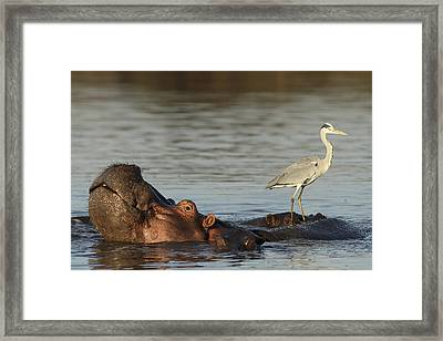 Grey Heron On Hippopotamus Kruger Np Framed Print