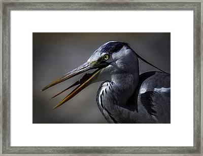 Grey Heron Profile With Open Beak Framed Print by Wild Artistic