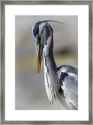 Grey Heron Profile With Soft Background Framed Print by Wild Artistic