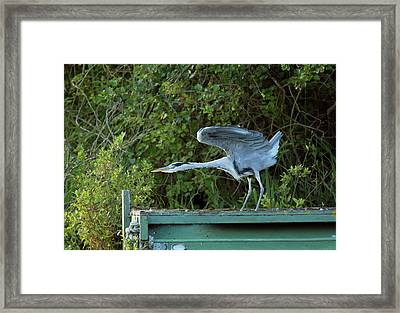 Grey Heron Stretching Its Wings Framed Print