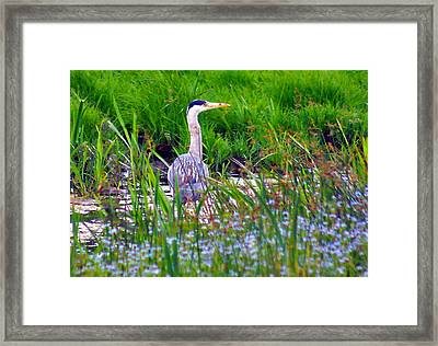 Grey Heron Framed Print by Trevor Kersley