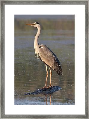 Grey Heron Framed Print by Zoltan Kovacs